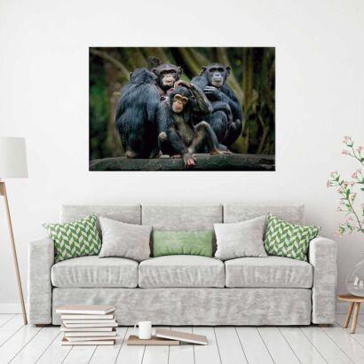 Cuadro Monos Chimpancés
